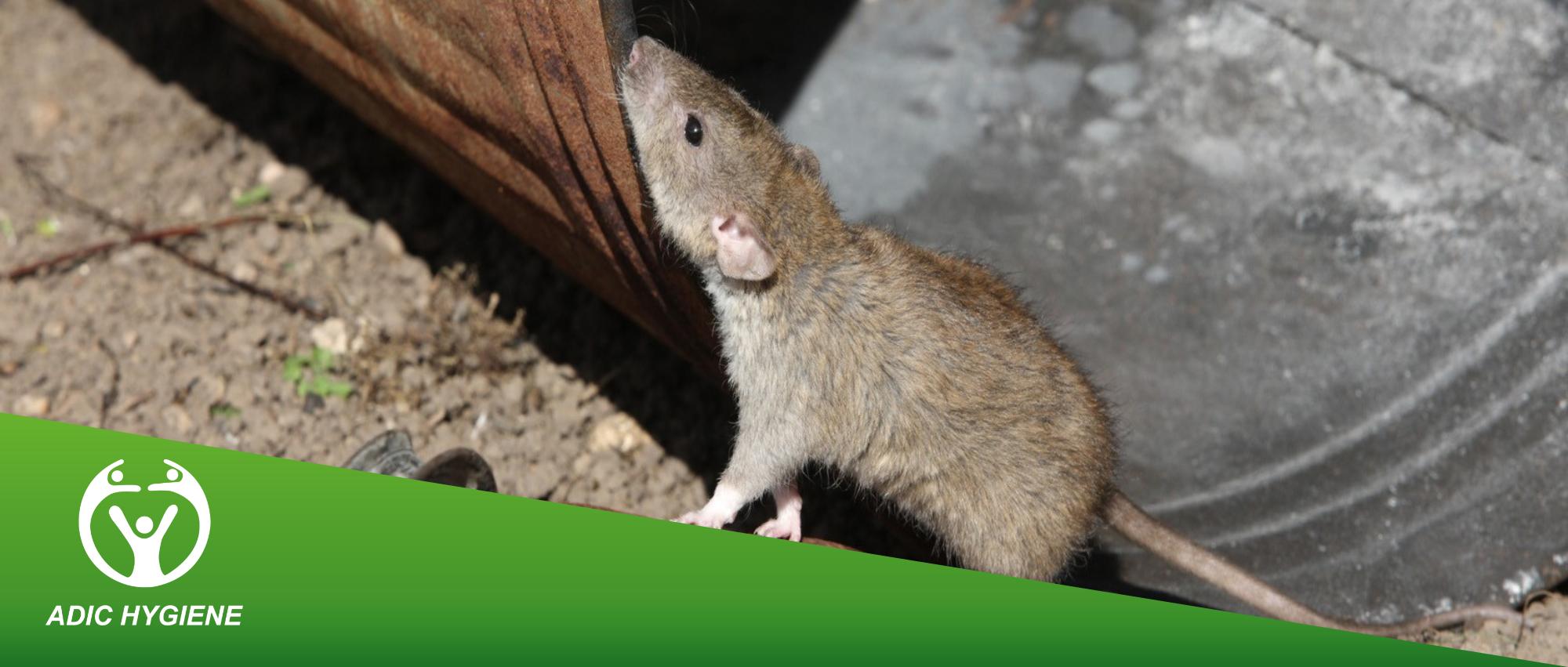 Dératisation à Rabat Maroc - ADIC HYGIÈNE société anti nuisible dératisation désinfection lutter contre les souris