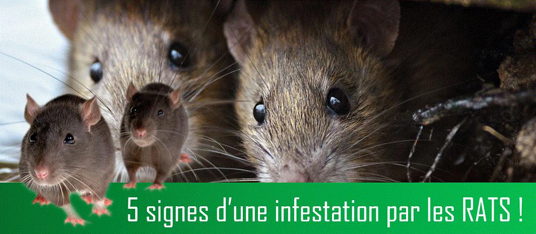 DÉRATISATION adic-hygiene Les 5 signes d'infestation par les rats ! Dératisation au Maroc
